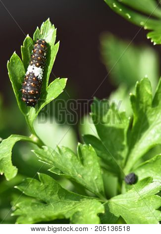 Black Swallowtail Butterfly also called Papilio Polyxens, larva on a parsley leaf.