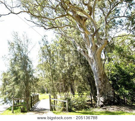 A sturdy Australian Gum Tree photo study pictured adjacent to a foot bridge in a bush setting at Murray's Beach Lake Macquarie, New South Wales, Australia. (Downunder)