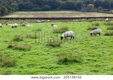 Woolly sheep grazing in a field on a cloudy day in the UK with trees in the background and space for text.