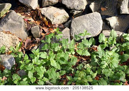 Green vegetation growing along a stone wall on a sunny autumn day.