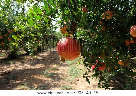 Rich harvest of pomegranates in the orchard