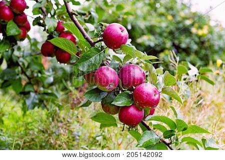 Spartan apple tree branch with apple after rain. Attractive crunchy sweet easy to grow and with the characteristic delicate wine-like