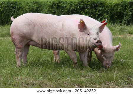 Pink Growing Pigs Grazing On Rural Pig Farm