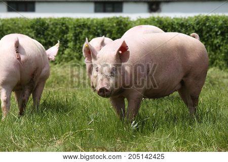 Pigs Farming Raising Breeding In Animal Farm Rural Scene