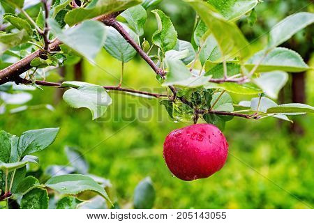 Lodel Apple Tree Branch  With  Fruit In A Garden After Rain