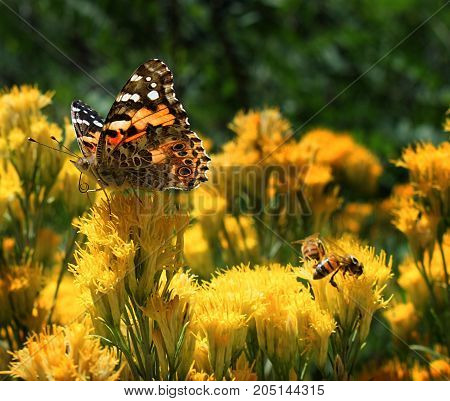 Monarch butterfly and a bee on yellow flowers.