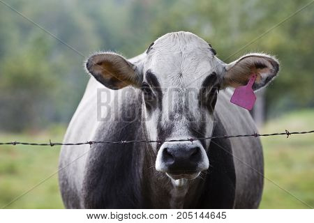 Portrait of a farm cow in a pasture.