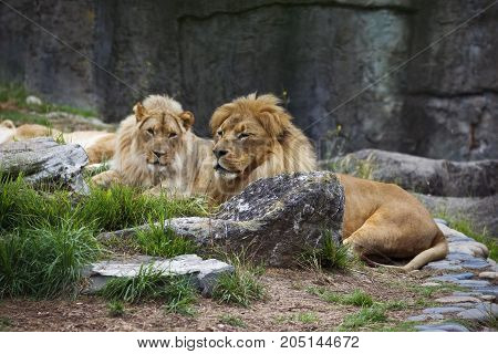 Two male lions laying around rocks and grass.