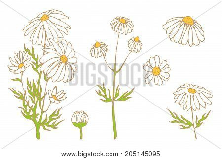 camomile hand drawn vector set, herbal beckground