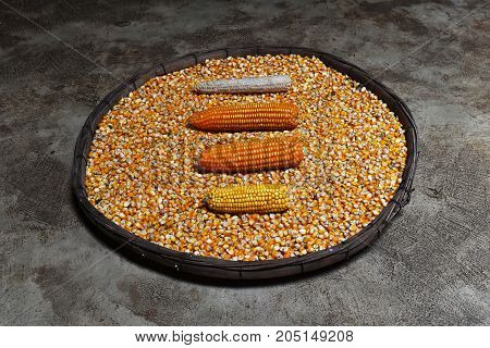 corn cob and corn on many dried corn seed in old winnowing basket on dirty cement ground for background