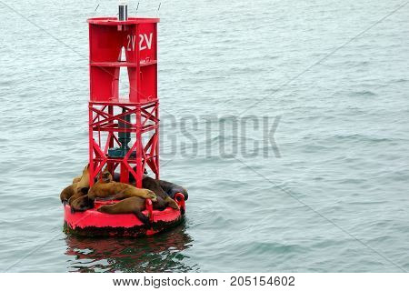 California sea lions or Eared seals resting on a buoy in Oxnard marina Ventura county.