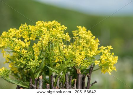 A bouquet of beautiful little yellow blossoming flowers called rape and dandelions in a pot decorated with wooden twigs on a table amid a green meadow in summer