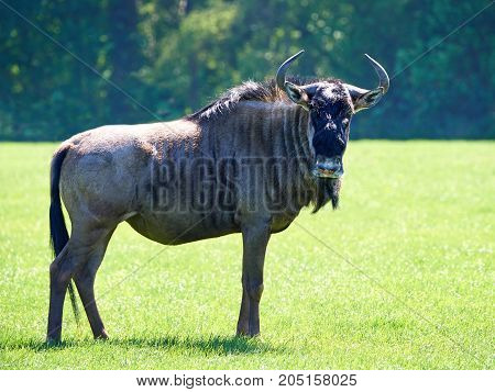 Blue wildebeest standing in grass in its habitat