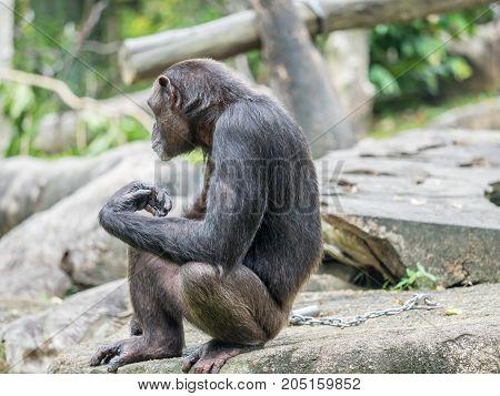 close up portrait of a male chimpanzee
