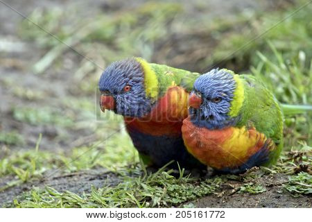 the rainbow lorikeets are resting together in the grass