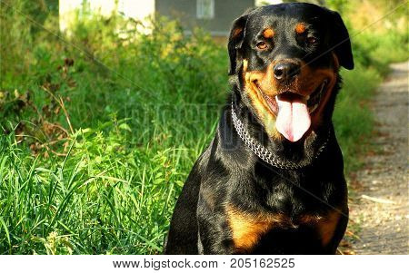 Rottweiler (it. Rottweiler) -- is a special breed of dog of the molosser group. Bred in Rottweil (Germany) in the middle of the XVIII century (according to legend, the first representatives of this breed took part in the Seven years war). Large, strongly