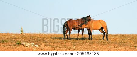 Adult Male Buckskin Stallion Nursing From A Mare In The Pryor Mountains Wild Horse Range On State Bo