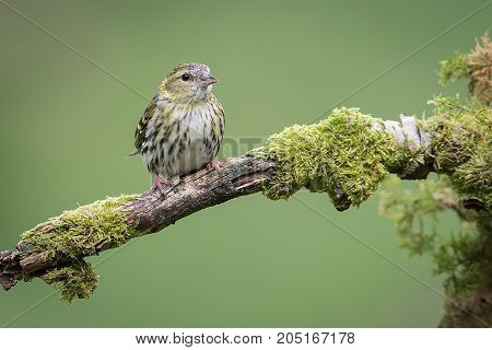 a female siskin sitting perched on a branch looking slightly to the right with a plain green background and space around