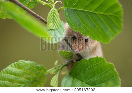 A close up of the head and nose of a harvest mouse peering through some leaves on  a branch