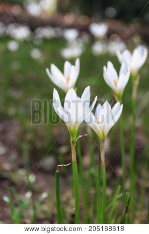 White Zephyranthes Candida
