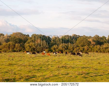 Beautiful Sunset Lit Green Country Land Scene With Trees And With Farm Dairy Cows Steers Grazing In