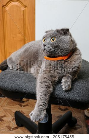 beautiful portrait of a Scottish fold cat
