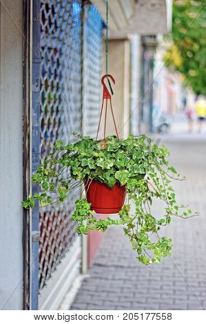 Ivy (Hedera helix) grown in plastic flowerpot hangs in front of a flower shop on a quiet street. Blurred and bokeh background.