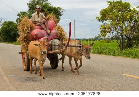 Oxen Towing Huge Load Of Hay