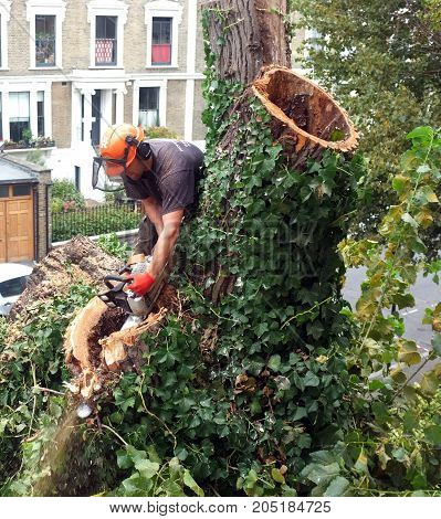 London, UK - September 7, 2017: Worker cuts tree branches with a chainsaw on top of a tree in London.
