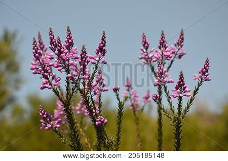 Purple wildflowers of the Australian native Comesperma ericinum growing in coastal heath in the Royal National Park. Known as pyramid flower, heath milkwort and pink matchheads.