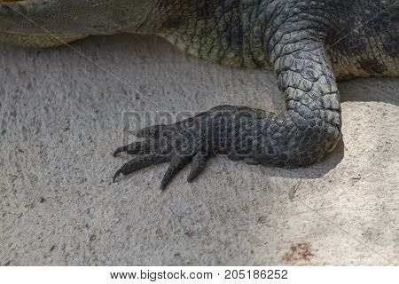 Close Up Foot Of Siamese Crocodile