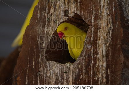 Close Up Yellow Parrot In Nest Hole