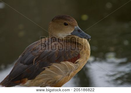Closeup Of Lesser Whistling Duck