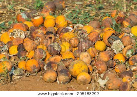 Oranges Rotting  Farming Trees