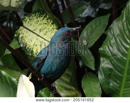 A picture of a single female Asian Fairy Bluebird.