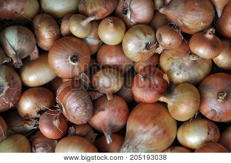 Ripe onion vegetable with golden scales mound