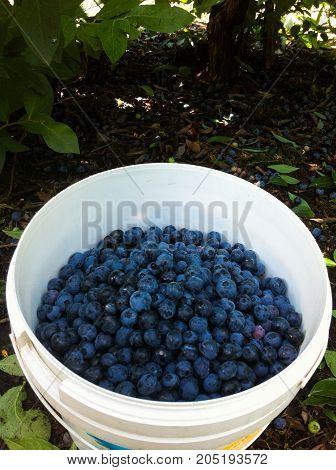 Ripe Organic Blueberries in Bucket, freshly picked