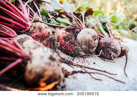 Freshly harvested beetroots with leaves on vintage background. Organic beets vegetables.