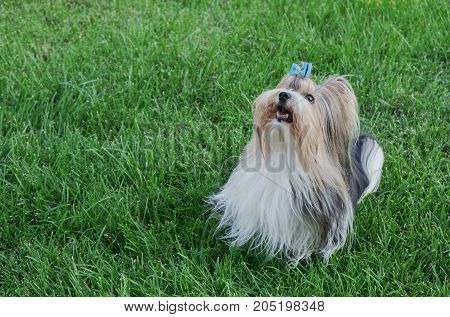 Beautiful male dog breed Beaver Yorkshire terrier with a bow on a green lawn
