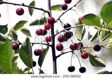 Red cherry fruits with stalks on a tree branch