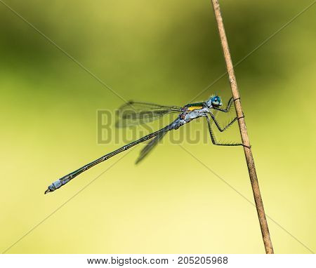 Closeup macro shot of a Emerald Damselfly holding onto a piece of pond reed in a nature reserve in Cornwall, UK