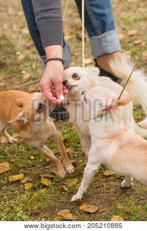 Chihuahua dog three small dogs are eaten by hand Close-up. Space under the text. 2018 year of the dog in the eastern calendar Concept: parodist dogs, dog friend of man, true friends, rescuers.