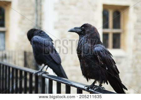 Two Black Ravens In The Tower Of London, Uk.
