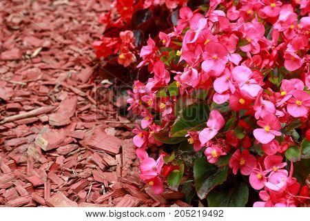Red wood chips and Begonia semperflorens-cultorum in rhe garden