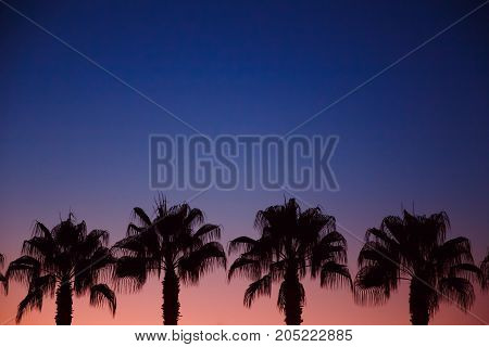 Palms. Silhouettes of palms on a Gold sunset and blue sky with a glare of the sun