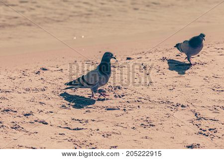 Urban animals and brids ornithology concept. Two pigeons on sandy yellow beach poster