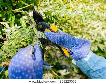Hands with gloves of gardener doing maintenance work pruning the willow tree