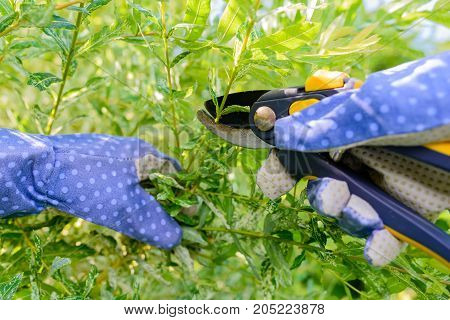 Hands with gloves of gardener doing maintenance work, pruning the willow tree