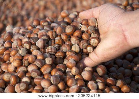 Hazelnuts. Harmonized dried hazelnut stack. close-up shot