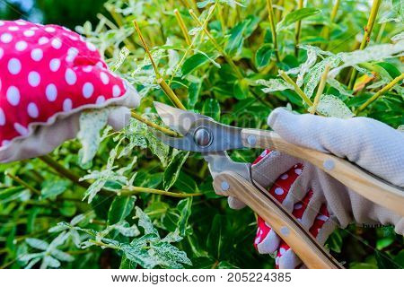Hands with gloves of gardener doing maintenance work pruning the tree